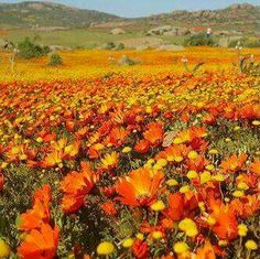 25 Ideas for flowers orange south africa South African Flowers, Champs, Beautiful Flowers, Beautiful Places, Out Of Africa, Wild Flowers, Yellow Flowers, Beautiful Landscapes, Places To See