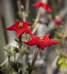 Petunia exserta