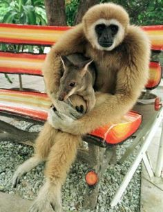 """Say hello to my little friend !""   [A Gibbon monkey, holding a Wallaby.]"