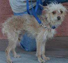 "Halfway to Home Animal Rescue Mojave, CA. <3 <3 <3 Einstein (HWTH#13182B). Terrier X, DOB: 9/9/09. Approx 8 lbs, 10"" at the shoulders. His foster says Einstein is a loving boy who is going to need tlc & time to adjust. Likes being held, is crate trained & beginning house trained. Residing w/ 6 Dogs & a CAT w/ no problems. For more info, please contact Suzanne @ tele # 661-824-4495."