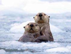 ♡ #seaofhearts #animal #otter