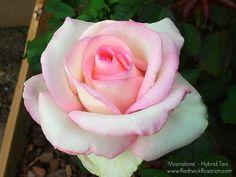 'Moonstone' Hybrid Tea Rose