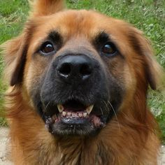 This big beautiful boy is at the Cuyahoga County Animal Shelter, in Cleveland, Ohio.  If you want some big furry love - come get him.