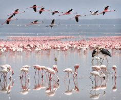 Flamingos in Lake Nakuru, Kenya, August 2008 by Ignacio Palacios on Dangerous Animals, Out Of Africa, Wildlife Nature, Big Bird, Cute Photos, Tanzania, Continents, Animal Kingdom, Wonders Of The World