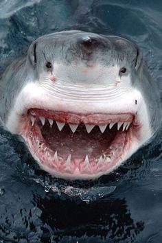 Shark Dents de la Mer