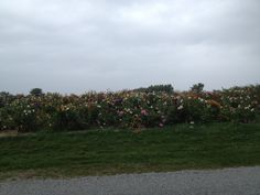 field of wildflowers during an autumn rainstorm in a village once known as Boston, Ontario
