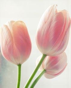 Lovely tulips.