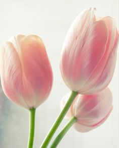 Lovely tulips.....tulips are an under-rated flower, but they can be really pretty, like these.