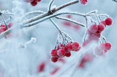 Guelder Rose Viburnum opulus fruit with hoar frost in traditional hay meadow.