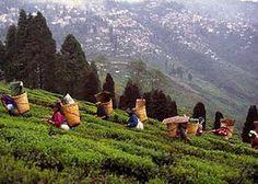 Darjeeling tea, harvest. www.teacampaign.ca  Source: see below.