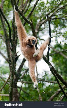 stock-photo-monkey-hanging-on-a-tree-branch-37624657.jpg (996×1600)