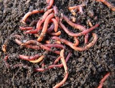 How long does worms take to make compost in a binge