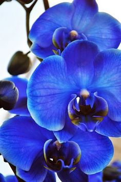 Absolutely stunning. There is something otherworldly about Blue Orchids