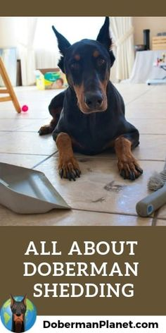 Have you ever wondered how much Doberman's really shed? Here's what it's really like living with a Doberman in terms of shedding. Big Dogs, Cute Dogs, Doberman Pinscher Dog, Doberman Breeders, Dobermans, American Doberman, Doberman Training, Smelly Dog, Coyote Hunting