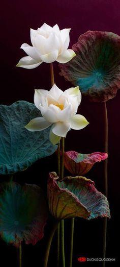 chasingrainbowsforever:Colors ~ Aubergine and Teal  Lotus
