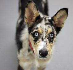 Scout is a 4-month-old Australian Cattledog available to adopt at the SPCA of Texas in Dallas.  | #dallas #mckinney #texas #adopt #dog #dogs #pet #pets #animal #animals #puppies