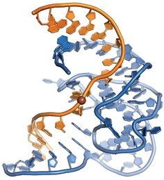 Surprisingly, a DNA enzyme, or DNAzyme, had never been visualized before this year because researchers had been unable to crystallize this type of catalyst. The feat comes thanks to a team led by Claudia Höbartner and Vladimir Pena of the Max Planck Institute for Biophysical Chemistry, who reported the structure of a DNAzyme called 9DB1, which specializes in stitching together RNA strands. The new structure could enable more rational design of single-stranded DNAzymes for biomedical use