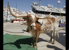 Bevo, University of Texas. ~ Check this out too RollTideWarEagle.com ~ sports stories that inform and entertain, plus #collegefootball rules tutorial. Check out our blog and let us know what you think. #Longhorns