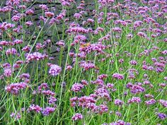 VERBENA bonariensis Tall 'airy' perennial with pretty clusters of lilac-purple flowers from mid-summer to early autumn. RHS Award of Garden Merit Early Autumn, Hardy Plants, Verbena, Purple Flowers, Perennials, Lilac, Addiction, Gardening, Sun