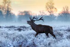 Deer in frosty morning by londonietis