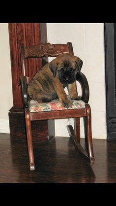 Baby 5 week old English Mastiff puppy!