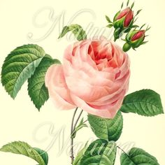 Botanical Print No 62 Pink Rose Sale item produced by NaturaPrints, $10.00