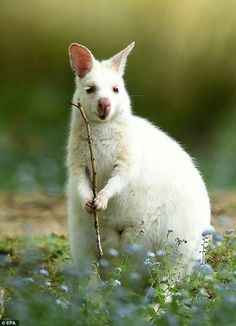 Bruny Island, Tasmania, Australia: albino wallaby.