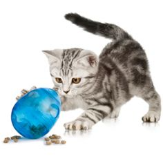 Adopt a pet from North Shore Animal League America today! We have dogs, cats, puppies and kittens in our Port Washington, NY location. Animal League, Kitten Photos, What Cat, Cat Posters, British Shorthair, American Shorthair, Cute Creatures, Cat Breeds, Cat Toys