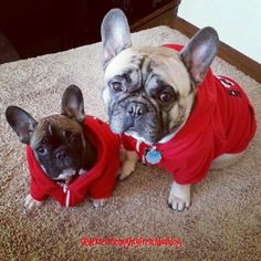 Twinning, Dexter and his Sister, French Bulldogs.