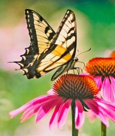 Try these perfect picks to attract wildlife and bring native blooms to your garden. Coneflower (Echinacea and Rudbeckia spp.) with Tiger Swallowtail Beautiful Butterflies, Beautiful Flowers, Simply Beautiful, Bugs, Flowers Perennials, Trees And Shrubs, Native Plants, The Great Outdoors, Garden Plants