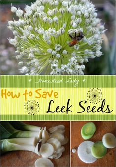 How to Save Leek Seeds - If you grow them (and you should!), its so easy to save leek seeds so you don't have to buy them anymore!  www.homesteadlady.com