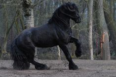 """Royal Friesians - also """"Goliath"""" in the movie LADYHAWKE    I love that movie!! The horse is one of the central characters for me. What a gorgeous animals. EM"""