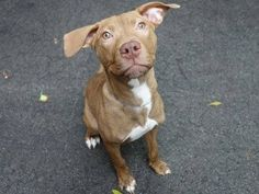 SAFE --- Manhattan Center LUCY - A1019146 FEMALE, BROWN / WHITE, PIT BULL MIX, 6 mos STRAY - STRAY WAIT, NO HOLD Reason STRAY Intake condition UNSPECIFIE Intake Date 10/29/2014, From NY 10029, DueOut Date 11/01/2014, https://www.facebook.com/photo.php?fbid=897651703581043 +++++++VERY VERY SWEET++++++