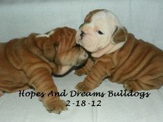 AKC English Bulldog Puppies~  $1600