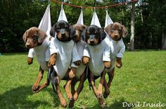 Now that's the way to keep them wrangled! Baby Puppies, Cute Puppies, Cute Dogs, Dogs And Puppies, Doggies, Best Dog Breeds, Best Dogs, Doberman Love, Doberman Puppies