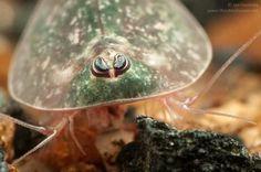 Crustacea - Classe Branchiopoda, Subclasse Phyllopoda (Ordem Notostraca)