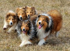Laureate Shelties herding most beautiful site about shelties