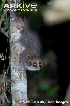 Hairy-eared dwarf lemur foraging at night