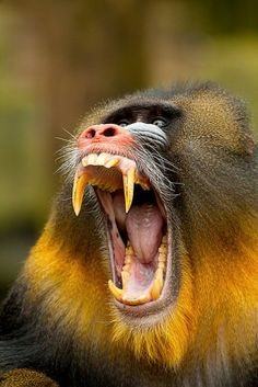 Primates, Mammals, Nature Animals, Animals And Pets, Funny Animals, Cute Animals, Beautiful Creatures, Animals Beautiful, Wild Animals Photography