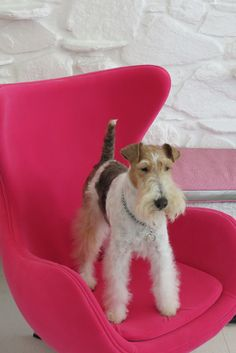 At home in the modern world. This little terrier exudes great style as does the Schiaparelli pink chair. MODERNISM at its best.
