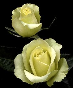 Rose 'St. Patrick': An Irish Blessing:.. May your memories bring Joy..and your evenings bring peace.. May your worries grow less.. as your Blessings Increase!