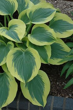 Liberty Hosta (Hosta 'Liberty') at Bachman's Landscaping