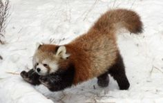 RED PANDA.....aka Fire Fox, Red Cat Bear, Bear-cat, Bright Panda, Lesser Panda, Petit Panda and Poonya....found in the dense, temperate mountain forests on the slopes of the Himalayas....measures 20 - 25 inches long with a 11 - 20 inch tail....weighs 6.5 - 13 pounds....2/3 of its diet is bamboo....consume 3 1/4 pounds (200,000 leaves) each day....the mascot for the Darjeeling international festivals....less than 2,500 remain in the wild