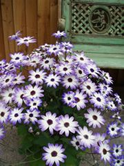 Senetti : great patio plant to provide color from winter to spring/early summer