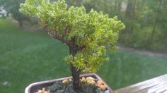 Is my bonsai healthy? #gardening #garden #DIY #home #flowers #roses #nature #landscaping #horticulture