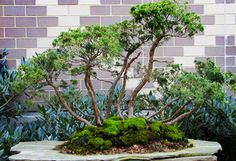 Franklin Park Conservatory - Bonsai Display