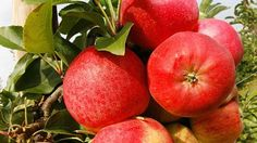 Boston Area's Best Places For Apple Picking « CBS Boston