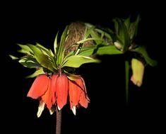 Keiserkronene ble plantet i fjor høst (september), og de skjøt virkelig fart i mars. Nå står de der og venter på liljer i frskjellge farger og varianter.