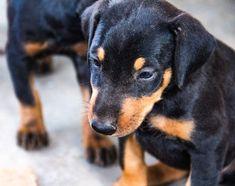 www.elitek-9.com  #doberman, #protectiondogs, #CEO, #militaryk9, #exotics Doberman Pinscher, Exotic Cars, Puppies, Dogs, Animals, Instagram, Cubs, Animales, Animaux