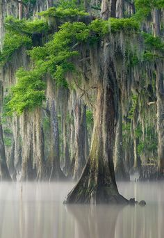 Bald cypress on a misty morning in Maurepas Swamp, south Louisiana.  Photographer David Chauvin.